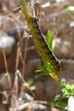 Larva di lineata di Hyles Fotografia Stock Libera da Diritti