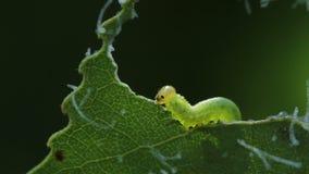 Larva di permesso di cibo del Tenthredinidae video d archivio