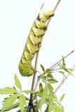 Larva di Sphingid Fotografia Stock Libera da Diritti