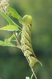 Larva di Sphingid Fotografia Stock