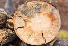 Larva dirigida redonda del perforador en madera de pino Imagen de archivo libre de regalías