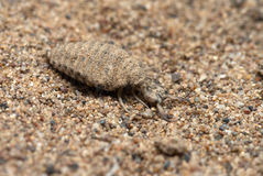 A larva do antlion imagem de stock royalty free