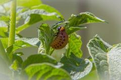 Larva do besouro de Colorado fotografia de stock
