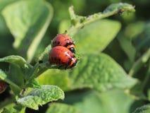 A larva do besouro de Colorado come as folhas verdes das batatas Tiro macro da praga nos arbustos do nightshade Inseto listrado d Fotografia de Stock Royalty Free