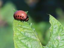 A larva do besouro de Colorado come as folhas verdes das batatas Tiro macro da praga nos arbustos do nightshade Inseto listrado d Fotos de Stock