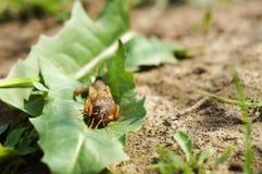 Larva do besouro de maio! Fotografia de Stock