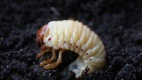 Larva do besouro europeu ou do erro de maio ou varinha de rabdomante /Melolontha vulgaris/no fundo da terra preta filme