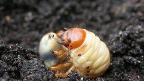 Larva do besouro europeu ou do erro de maio ou varinha de rabdomante /Melolontha vulgaris/no fundo da terra preta video estoque