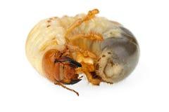 Larva do Cockchafer fotos de stock royalty free