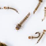 Larva do mosquito imagem de stock royalty free