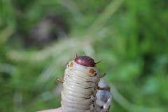 A larva do pode besouro Imagens de Stock Royalty Free
