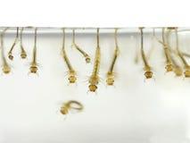 Larva do ` s do mosquito foto de stock royalty free