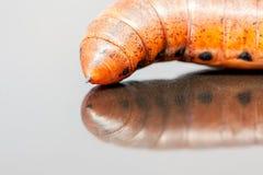 Larva of an Elephant Hawk-moth Stock Photo