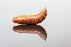 Larva of an Elephant Hawk-moth Stock Photos