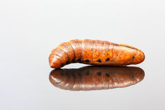 Larva of an Elephant Hawk-moth Stock Photography