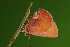 Larva en la ramita, Ahlbergia Nicévillei Imagen de archivo libre de regalías