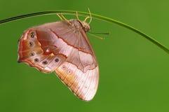 Larva en la ramita, chandica de Lethe Foto de archivo libre de regalías