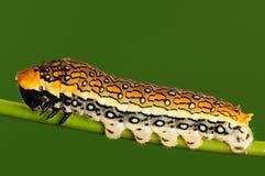 Larva en la ramita, Chilasaepycides Fotografía de archivo