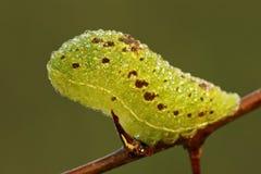 Larva escassa de Swallowtail (podalirius de Iphiclides) Foto de Stock Royalty Free