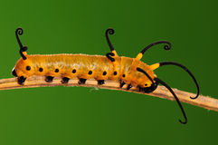 LARVA-/Euploeamidamus arkivfoto