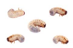 Larva of European rhinoceros beetle on white Royalty Free Stock Image