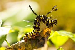 Larva för Brown arctiacaja på leafen i natur royaltyfria bilder