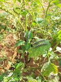 Larva on the fround royalty free stock photo