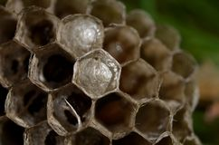 The larva of the hornet in the nest stock photos