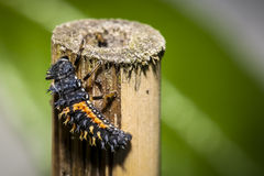 A larva of ladybird bug. A larvae of ladybird bug on a bamboo stick royalty free stock photos