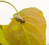 Larva of Leaf Beetle feeding on a Poplar tree leaf Royalty Free Stock Images