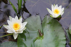 Larva live in the pond. Dragonfly larvae on water lily pads between flowers. Dragonfly nymphs living in pond Royalty Free Stock Image