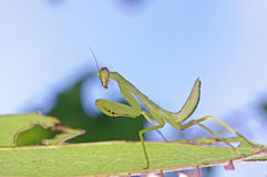 Larva mantis Royalty Free Stock Photos
