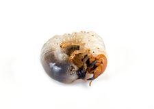 Larva of the May beetle Stock Image