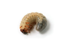 Larva of a may-bug Royalty Free Stock Photo