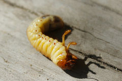 Larva of may-bug Royalty Free Stock Photo