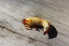 Larva of may-bug Stock Photos