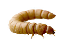 Larva of Mealworm - Tenebrio molitor. In front of a white background Stock Photo