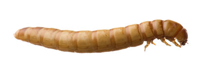 Larva of Mealworm - Tenebrio molitor Royalty Free Stock Image