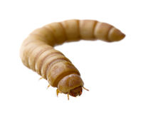 Larva of Mealworm - Tenebrio molitor Stock Photo