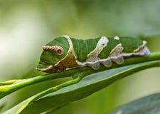 Larva mormonica comune della farfalla fotografie stock