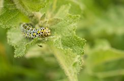 Larva of Mullein Moth on stingy leaf Royalty Free Stock Images