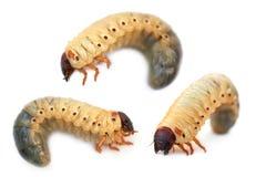 Larva noshörningen av felet Royaltyfri Foto