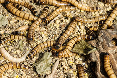 Larva Royalty Free Stock Photos