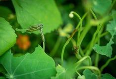 Larva of Pieris brassicae. Royalty Free Stock Photo