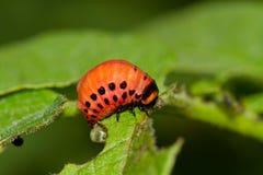 Larva of Potato Beetle Royalty Free Stock Images