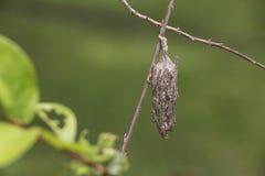 Larva Psychidae Fotografie Stock
