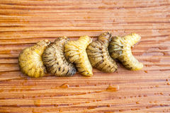 Larva of a Rhinoceros beetle Royalty Free Stock Photography
