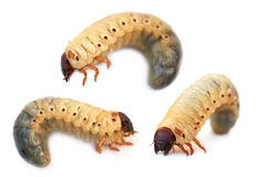 Larva the rhinoceros of the bug Royalty Free Stock Photo