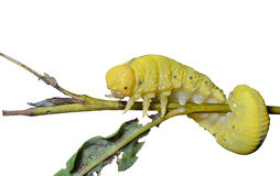 Larva of sawfly 7 Royalty Free Stock Image