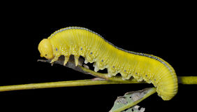 Larva of sawfly 9 Royalty Free Stock Photo